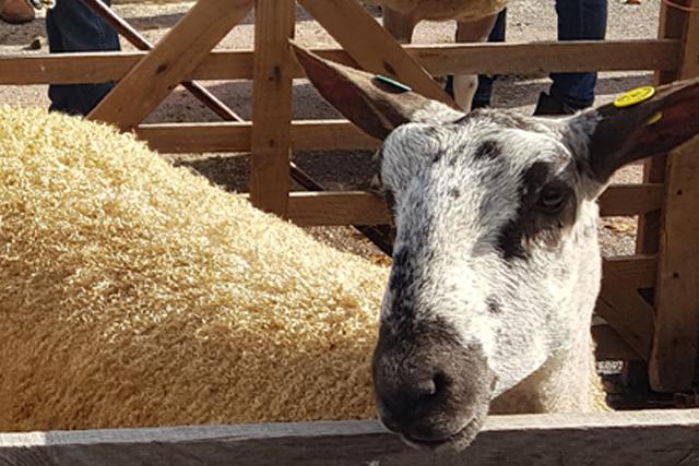 Masham Sheep Fair